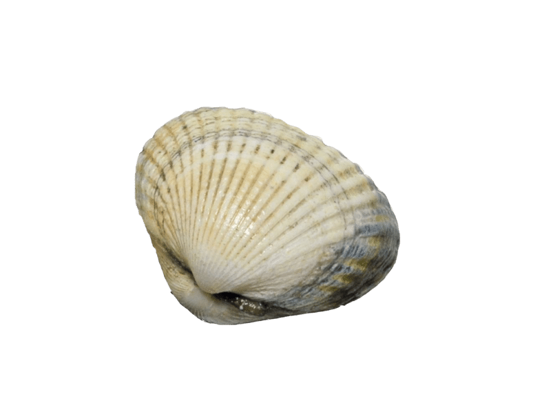 Common edible cockle