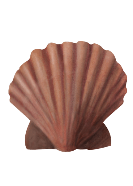 Common scallop