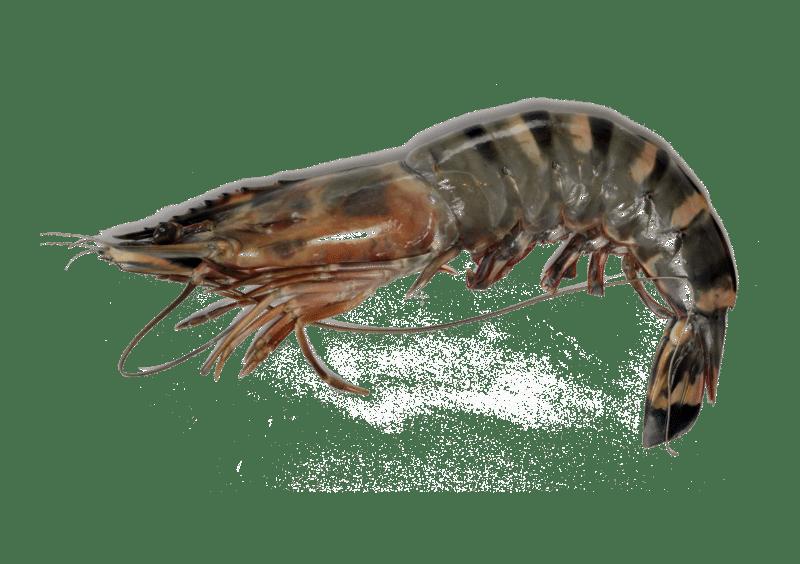 Crevette géante tigrée d'élevage Mr.Goodfish