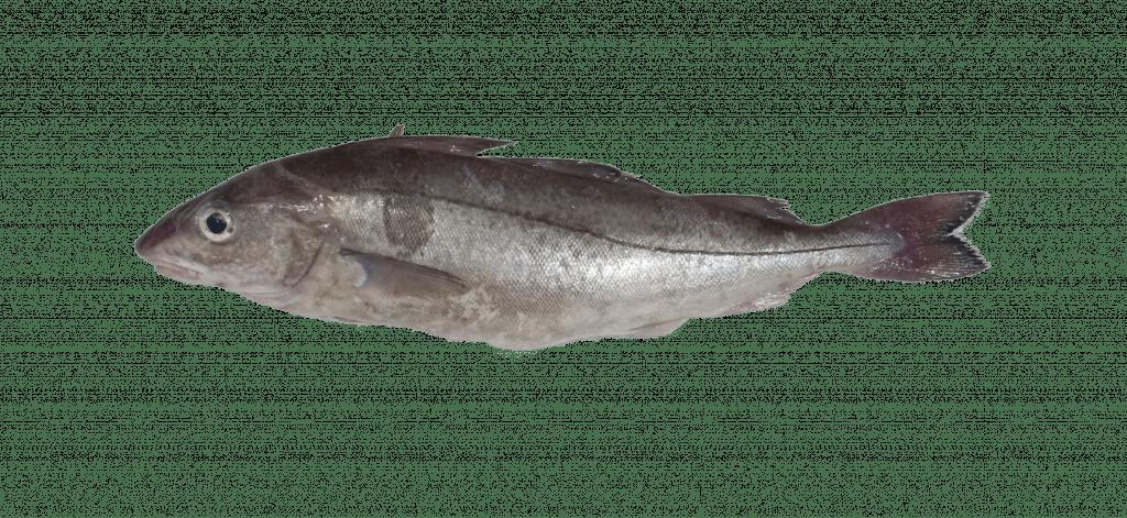 Eglefin_MrGoodfish