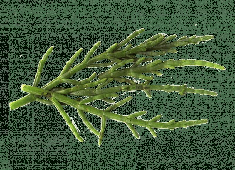 Salicornia Sp.