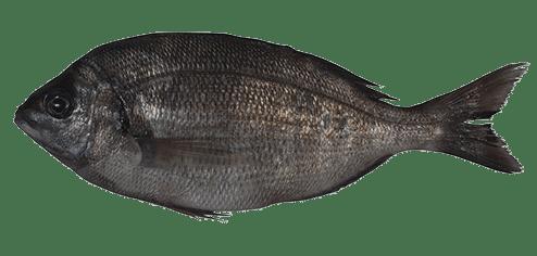 Black seabream