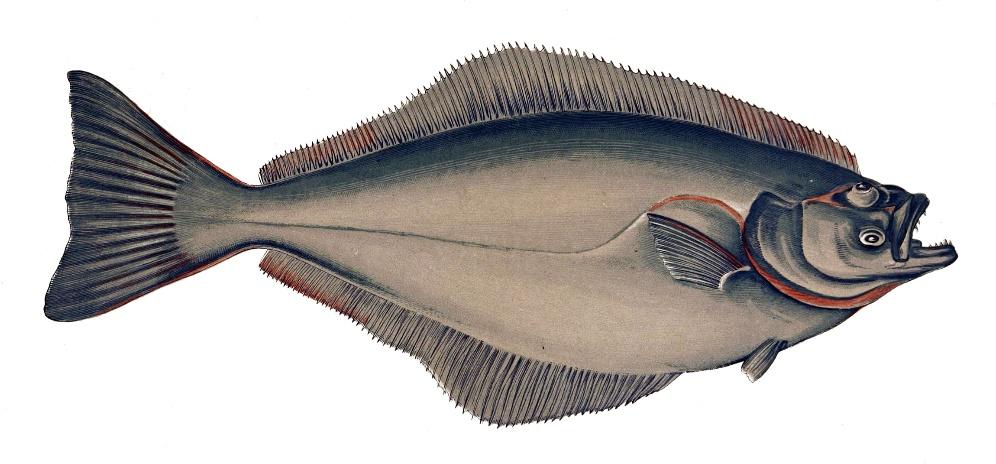 source : Les poissons Gervais, H